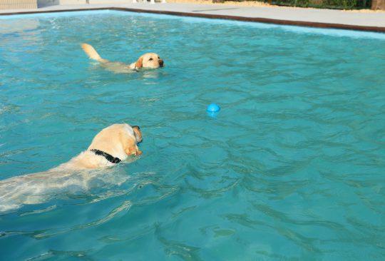 プールで遊ぶラブラドール